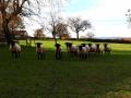 Suffolk schapen