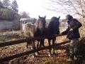 de buurpaarden