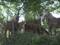 Haflingers tijdens wandeling GR13 (omgeving Brassy)