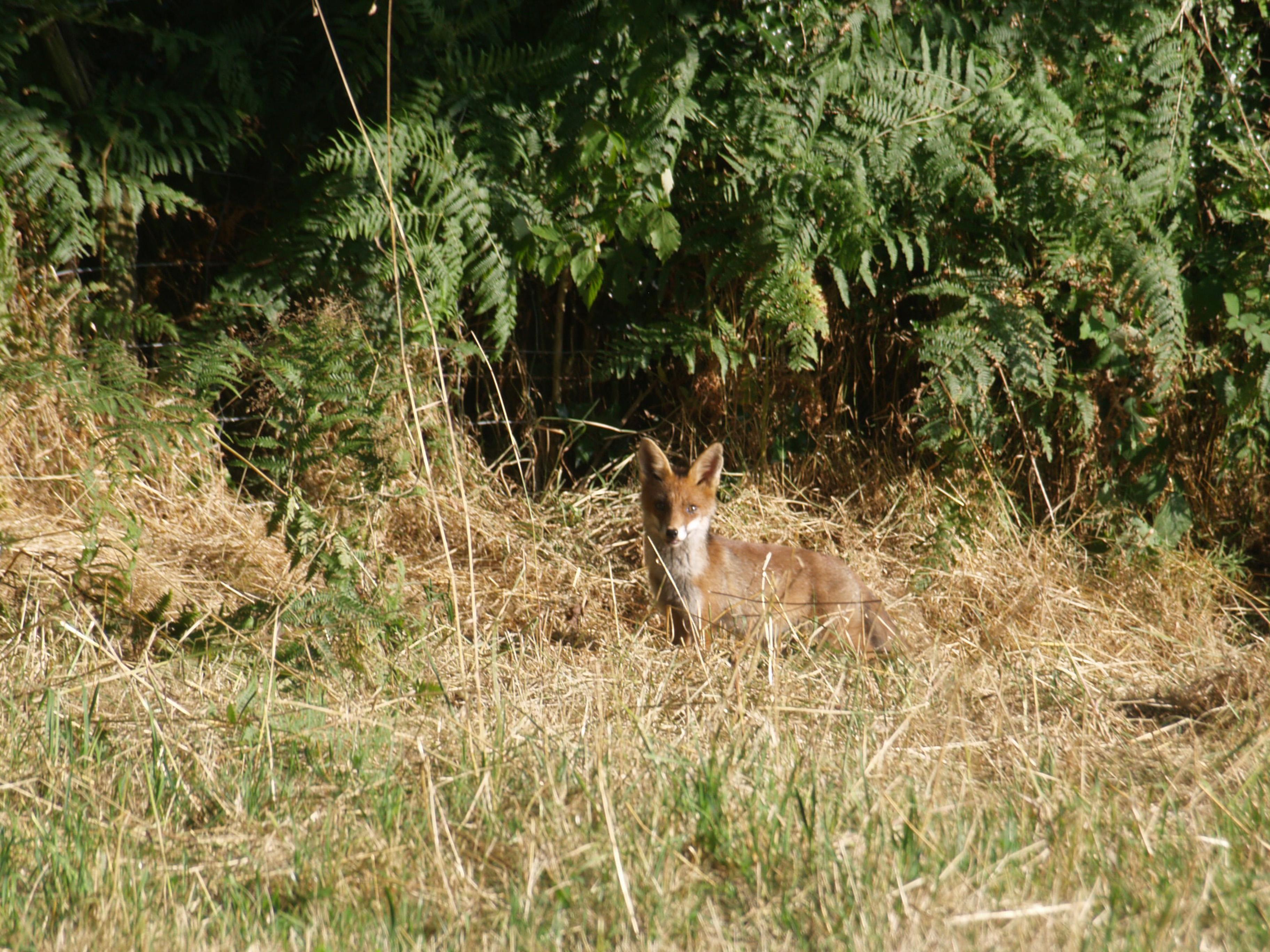 de renard achter onze grange